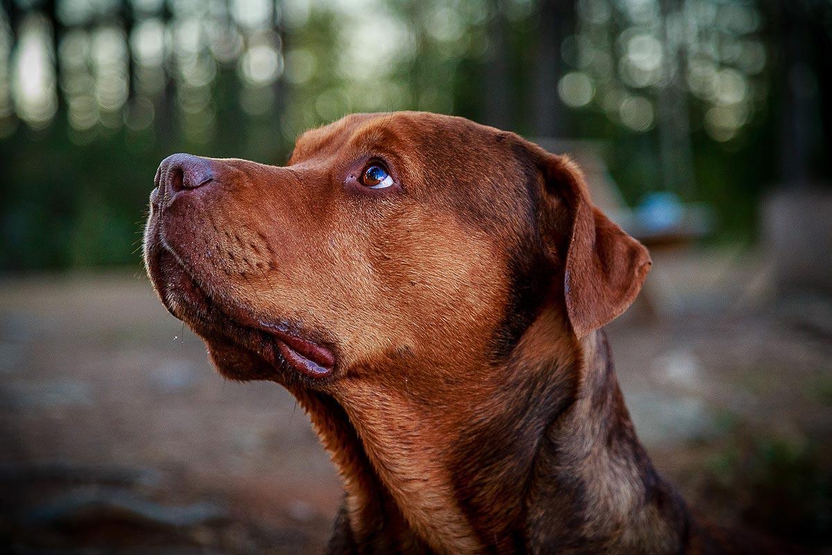 Närporträtt av ensam hund.
